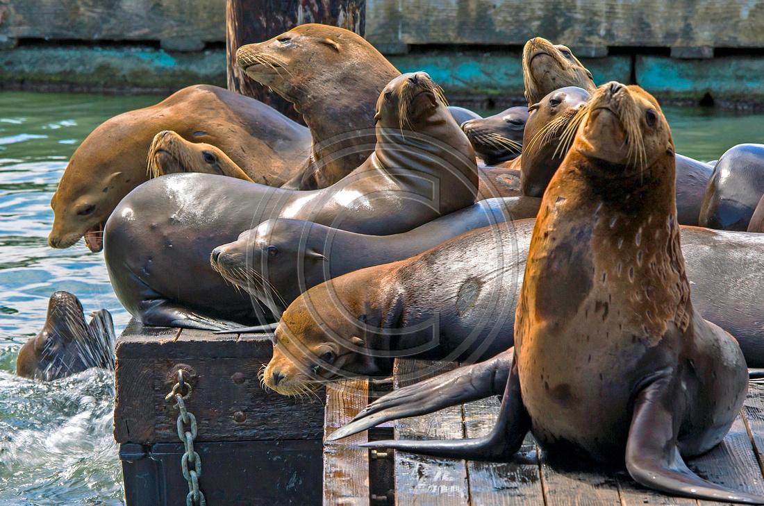 Sea Lions of Pier 39 : San Francisco