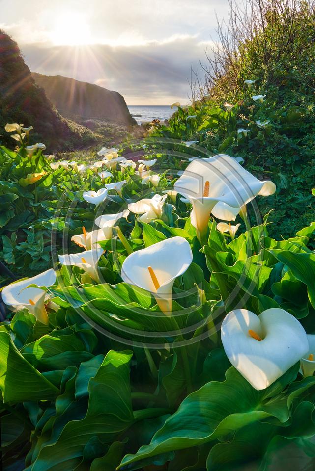 Calla Lilies of Doud Creek, Garrapata SP, California